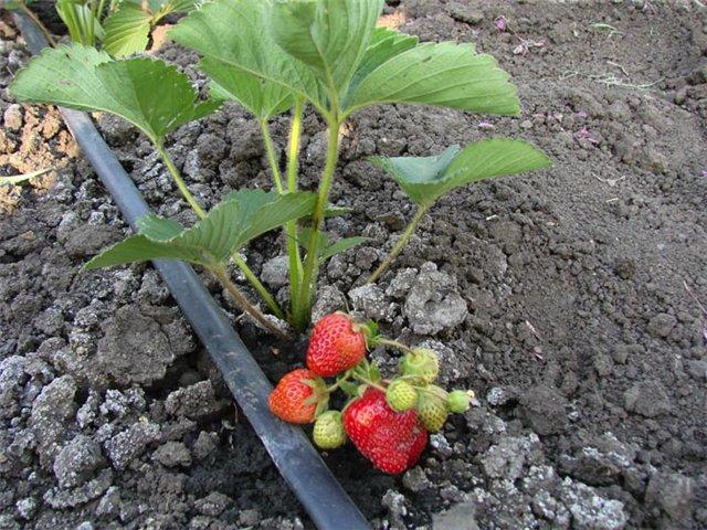 Орошение полив ягод