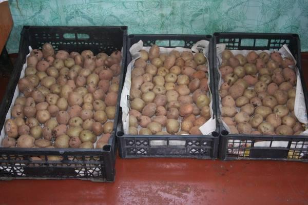 Яровизация картофеля весной