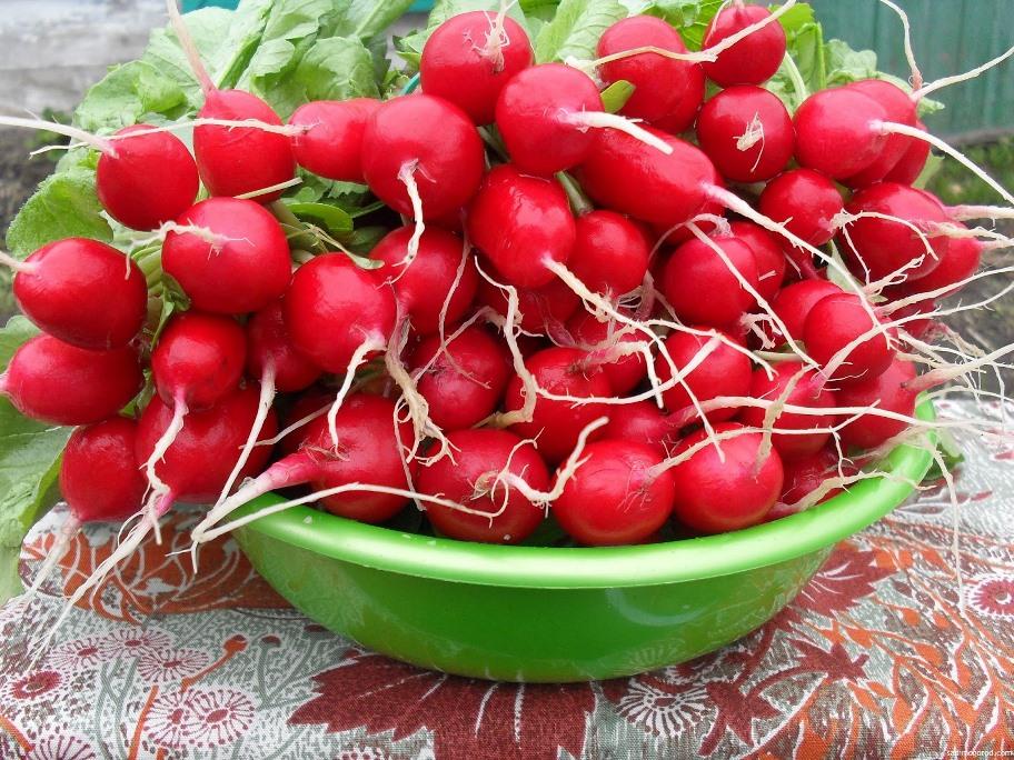 Отапливаемая теплица: выращивать редис в ней можно всегда