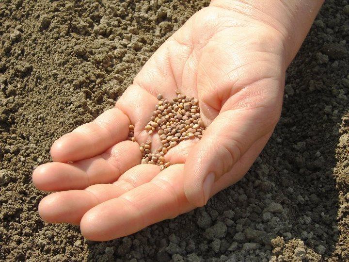Редис и его семена