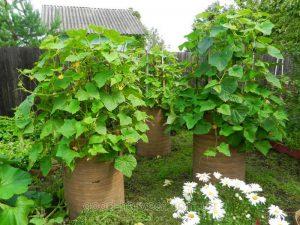 Используем старые бочки под огород: Овощи в бочках и секреты их выращивания