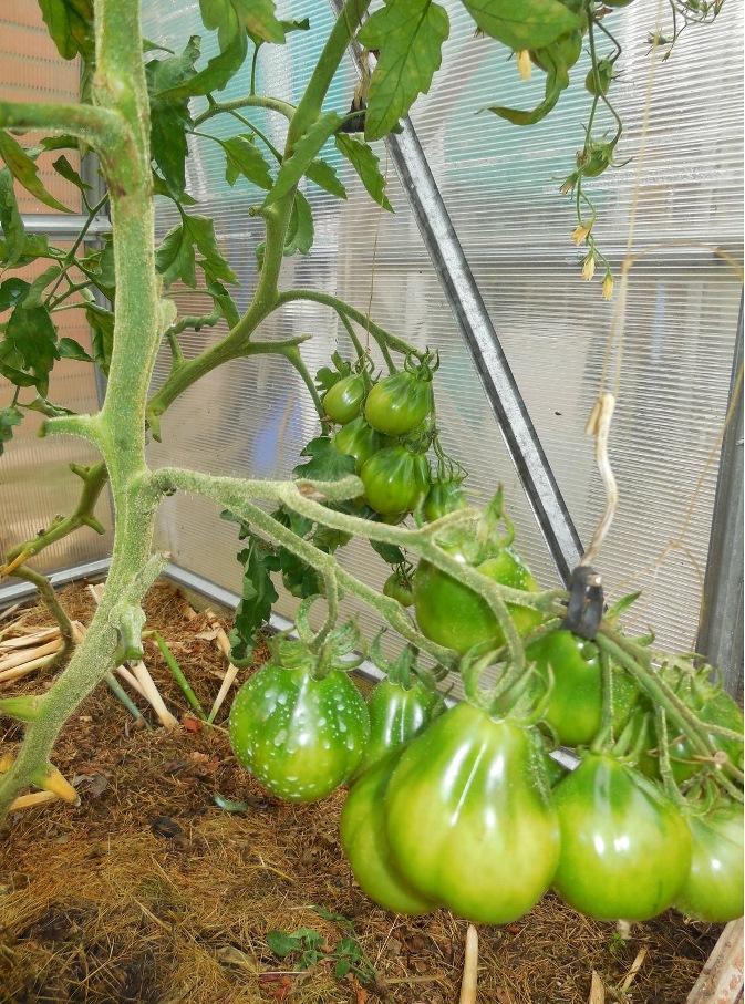 подвеска томатной ветки