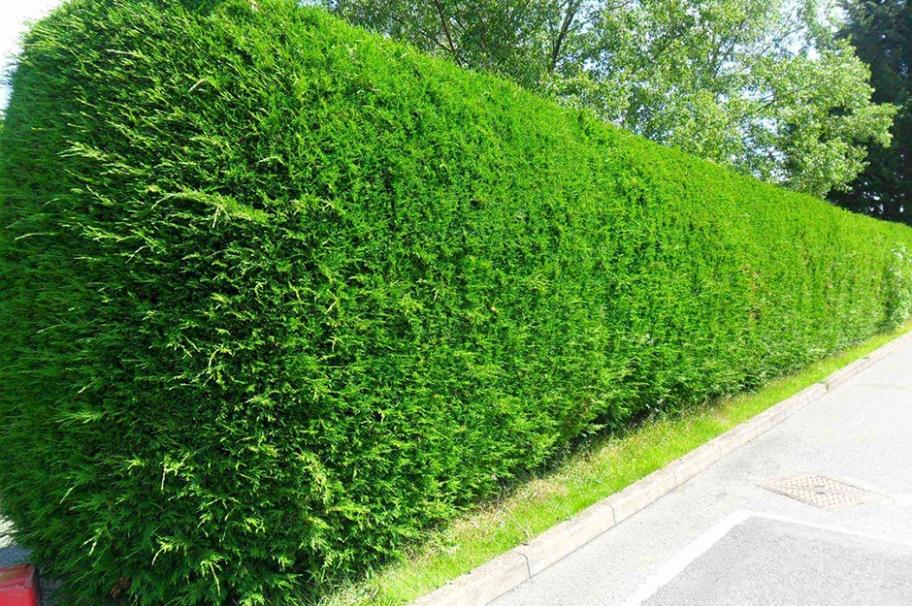 Живая изгородь - тоже забор