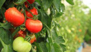 Как подвязать томаты по методике Маслова, чтобы сохранить богатый урожай