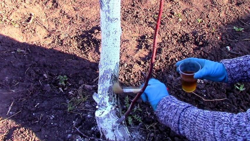 обработка плодового дерева креолином