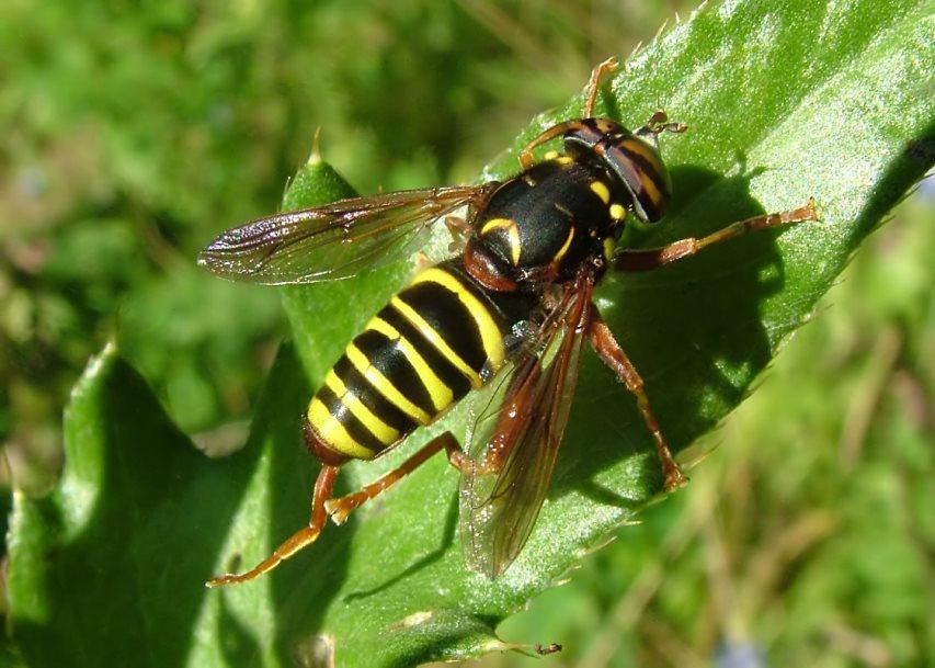 Журчалка - полезное насекомое