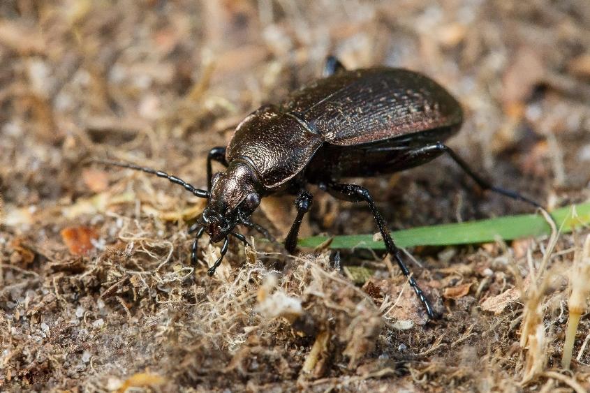 полезные насекомые: Жужелица