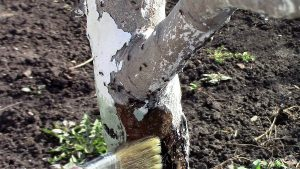 Как надежно защитить плодовые деревья с помощью креолина