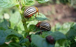 Колорадский жук: Как защитить картошку от его набегов