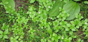 Мокрица: как избавить огород от этого сорняка