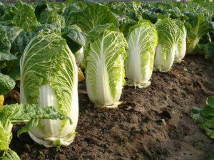 Пекинская капуста – овощ, который вполне можно посадить в июле и даже в начале августа!