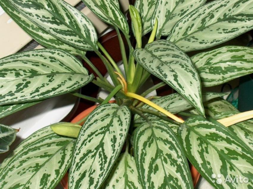 Декоративное комнатное растение англаонема