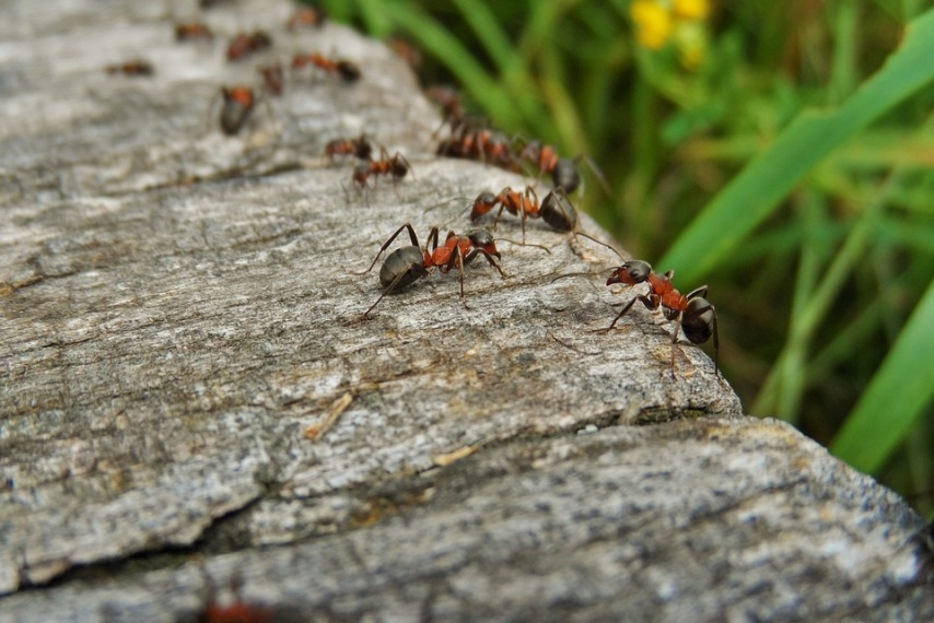 Избавиться от муравьев на участке