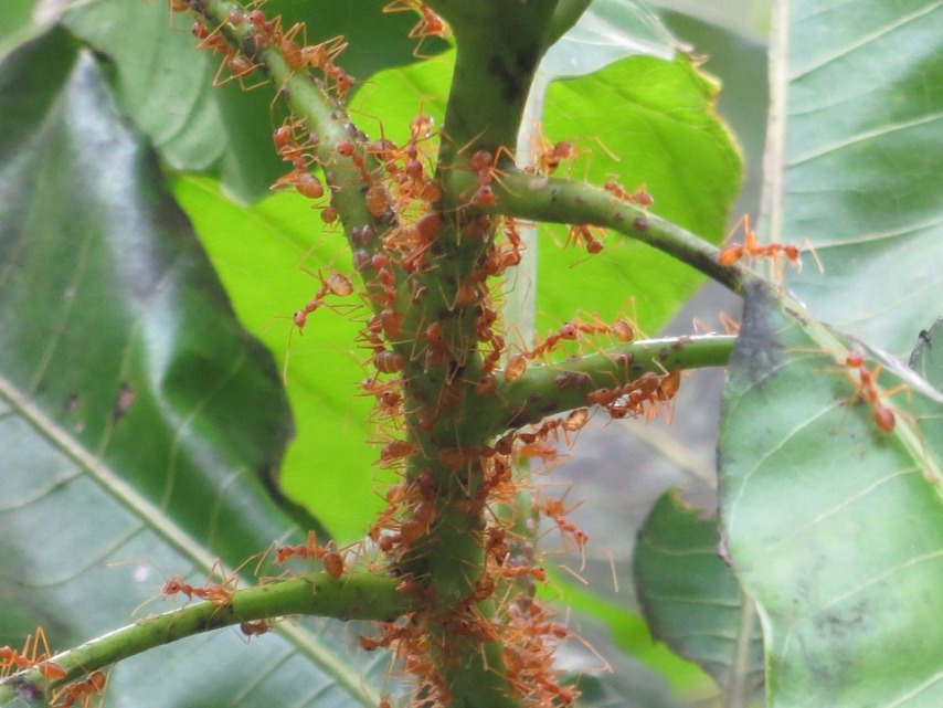 """""""Нападение"""" муравьев на растение"""