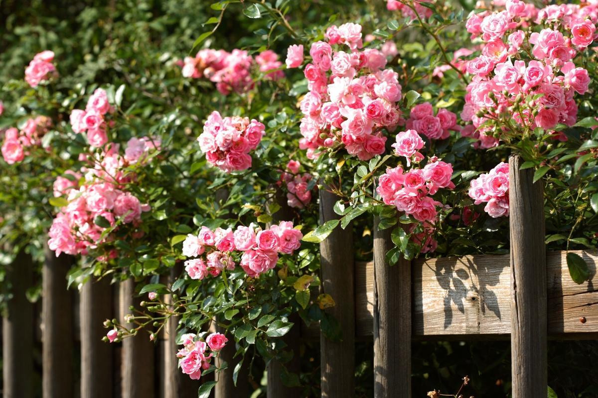 Роза плетистая для декора забора