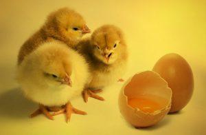 Содержание и выращивание молодых куриц для получения яиц