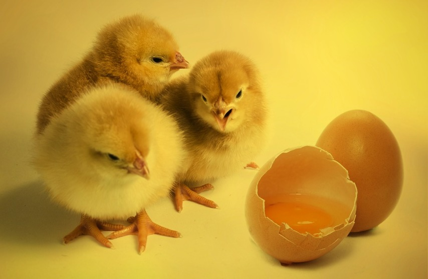 Особенности выращивания молодых кур