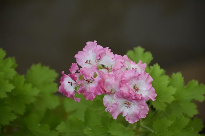 Цветение розовой герани