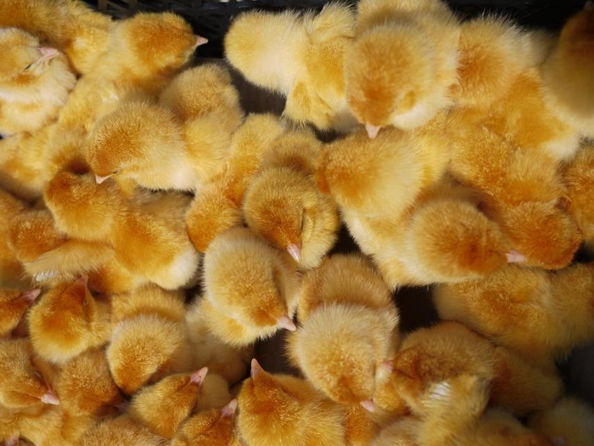 Обеспечить комфортные условия цыплятам