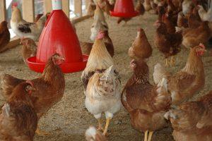 Курятник на своем участке: условия содержания куриц-несушек