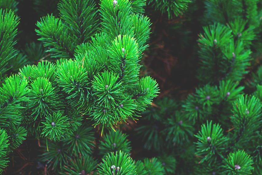 Качества древесины сосны