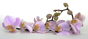 Красота в доме: почему не цветет орхидея?
