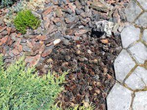 Сосновые шишки в качестве мульчи в саду