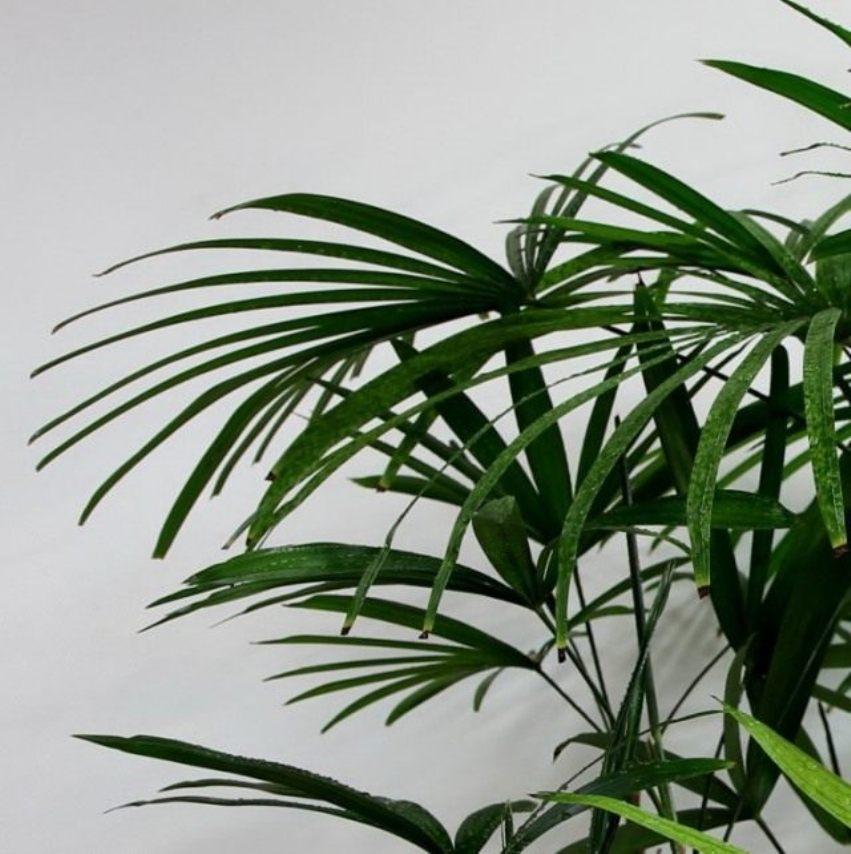Особенности выращивания бамбуковой пальмы