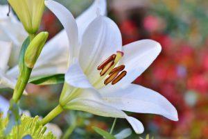 Садовые лилии: разнообразие видов