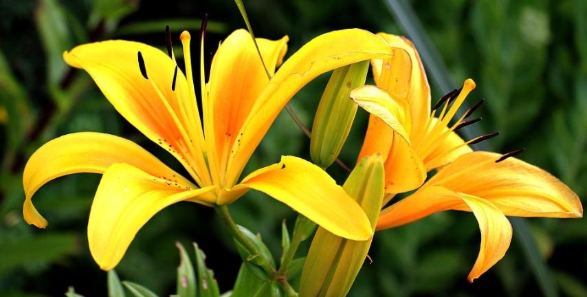 Красота садовых лилий