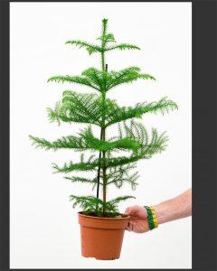 Хвойные растения для дома: актуально в канун Нового года