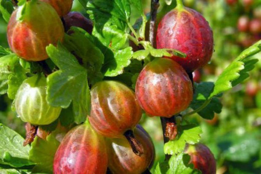 ягоды крыжовника