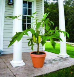 Выращивание папайи в домашних условиях