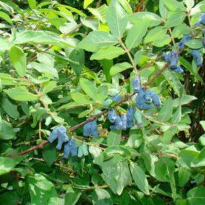 Жимолость съедобная — уже не гостья, а желанная ягода в саду