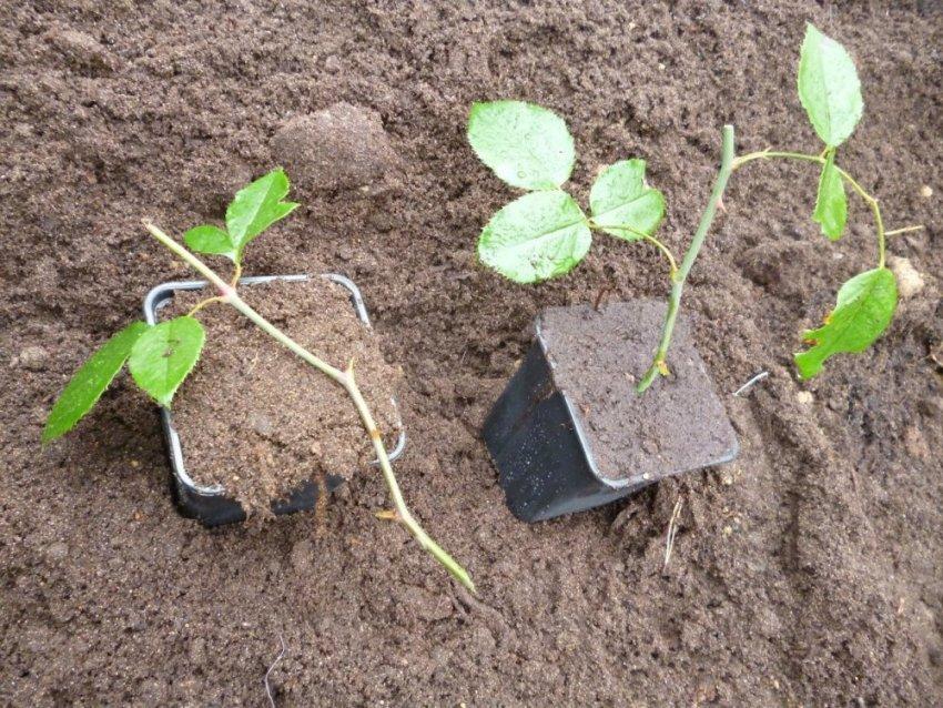 Особенности размножения плетистой розы
