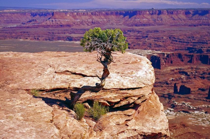 Дерево можжевельника