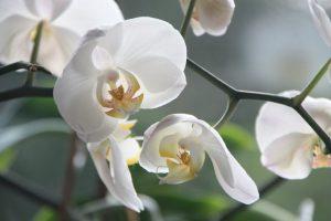 Изумительная орхидея: как порадовать себя тропическим растением