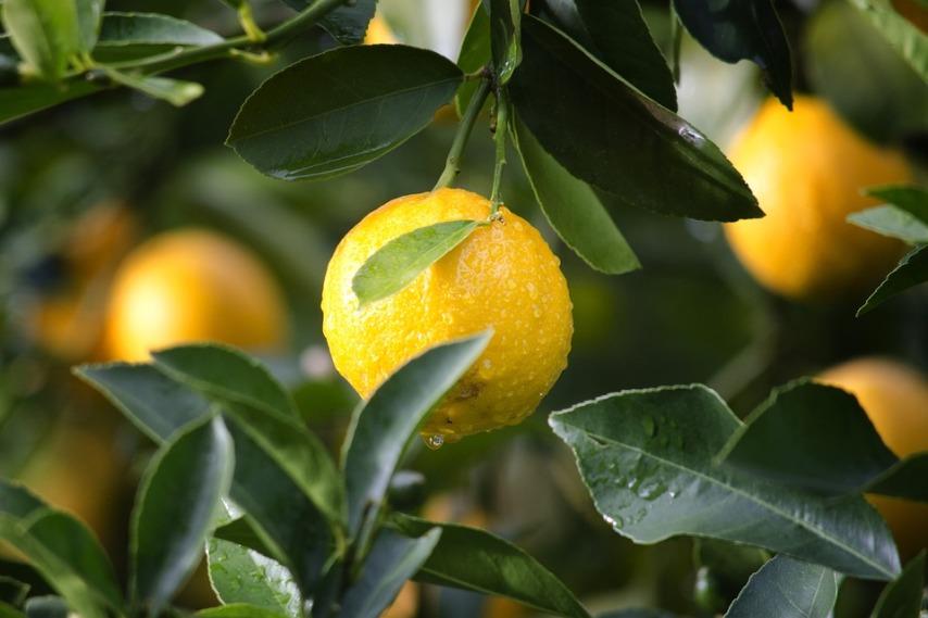 Почему не плодоносит лимон?