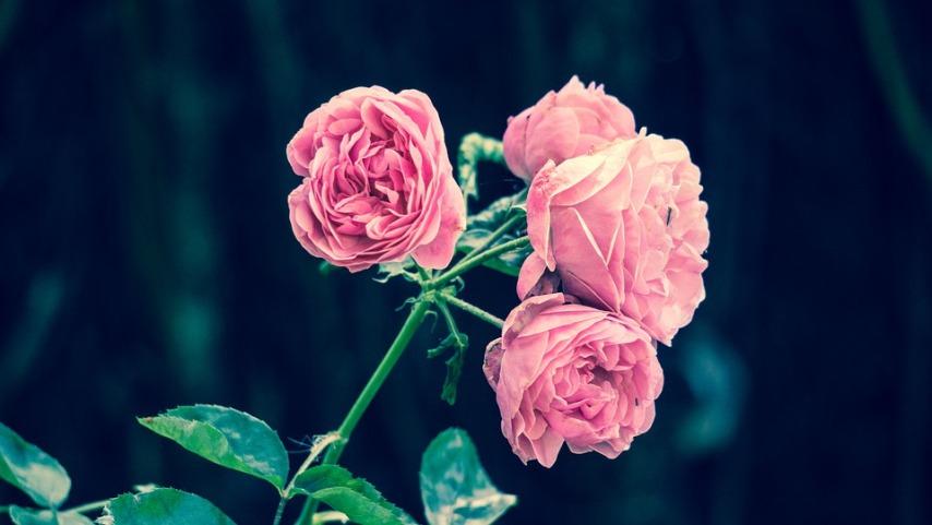 Как быстро размножить плетистую розу