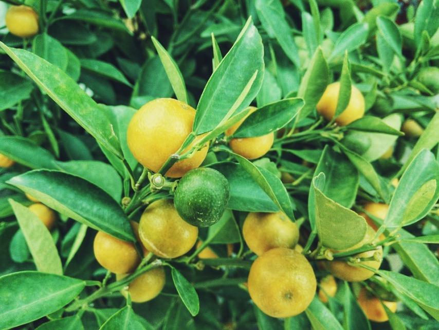 Что нужно для получения плодов лимона