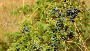 Можжевельник: польза, особенности выращивания и ухода
