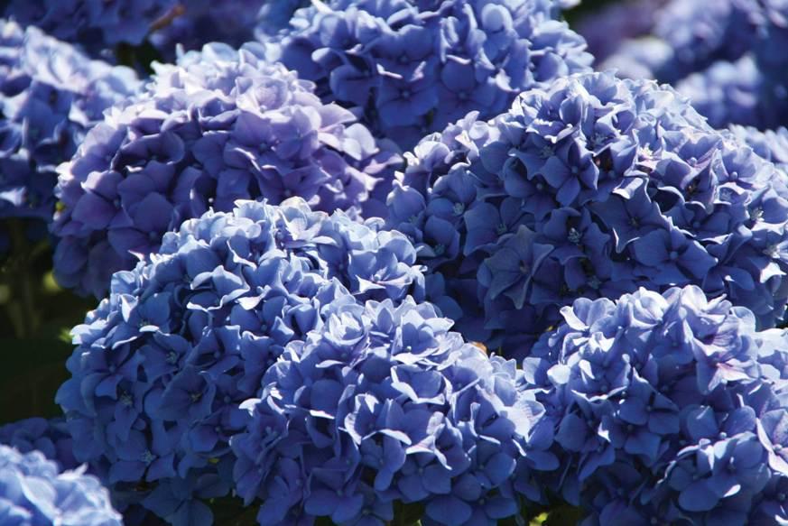 Гортензия с синими цветами