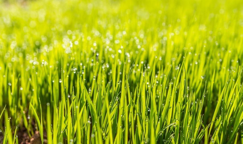 Разновидности газонных трав