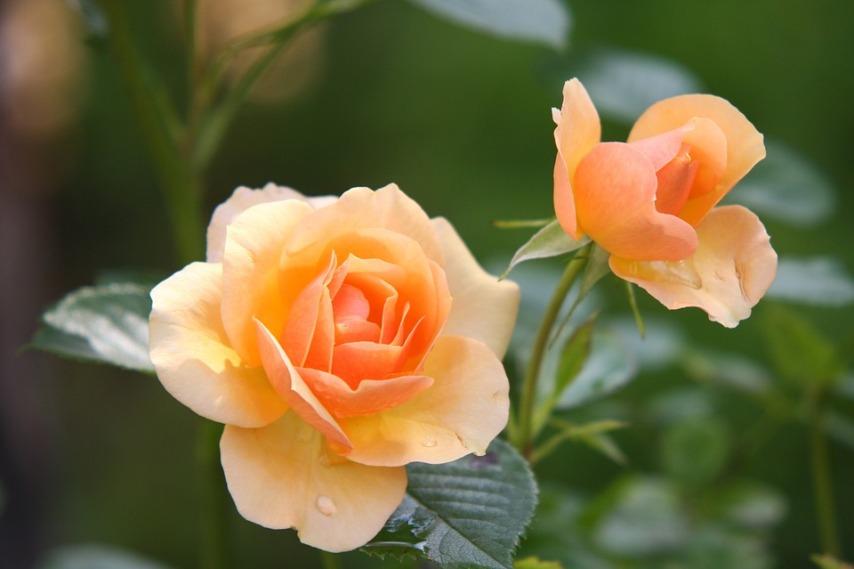 Выбираем вариант размножения плетистой розы