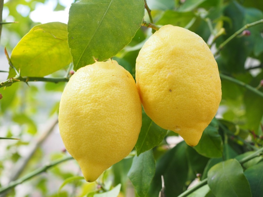 О чем следует помнить при выращивнии лимона