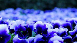Декоративные растения с синими цветками
