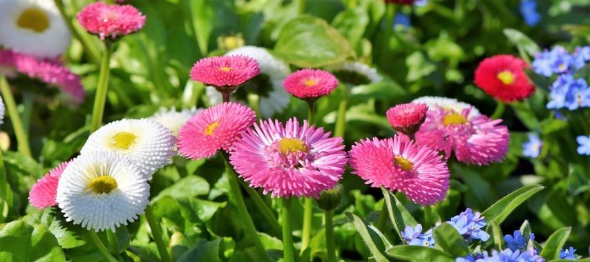 Маргаритки разных видов и расцветок