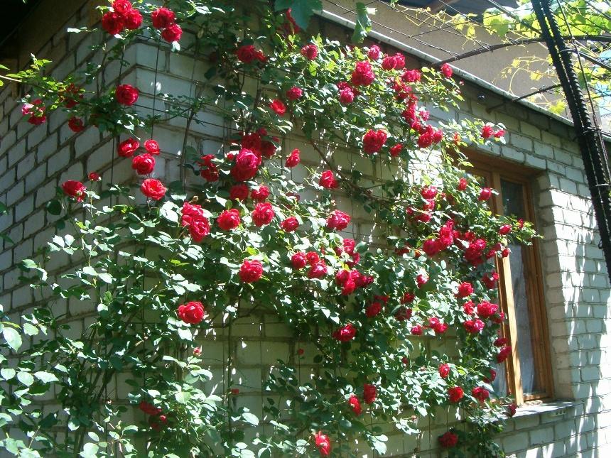 Плетистая роза - настоящее украшение любого сада