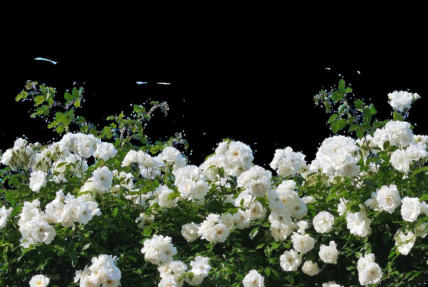 Красивые и пышные цветы плетистой розы