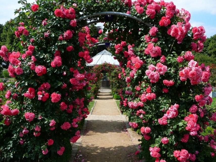 Как можно использоавть способность плетистой розы обвивать основание